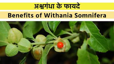 अश्वगंधा के फायदे | Benefits of Withania Somnifera