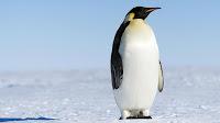 Penguin pictures hd_Pentagonica Sphenisciformes