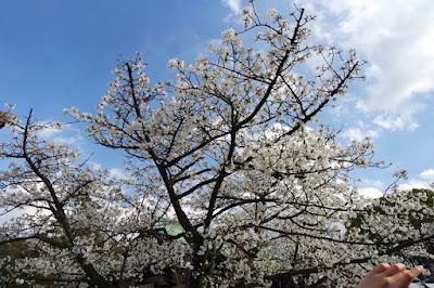 White cherry blossom tree at Osaka Castle