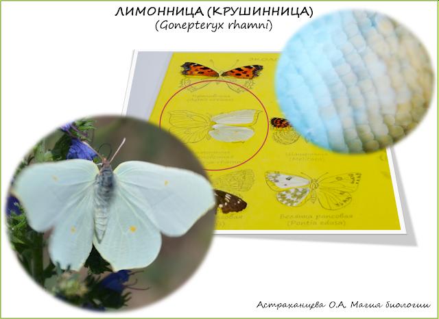 бабочка-лимонница-крыло-под-микроскопом-коллекция
