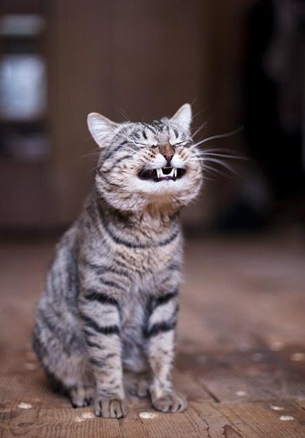 gato que parece que rie