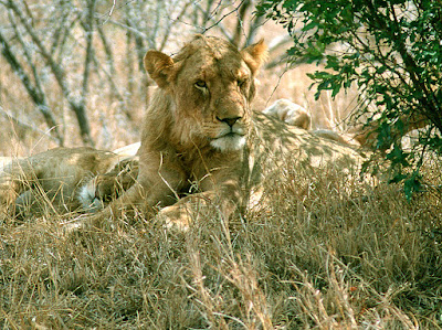 Kruger National Park, lioness, lion, safari, South Africa
