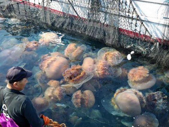 Nomuras Jellyfish Swarm