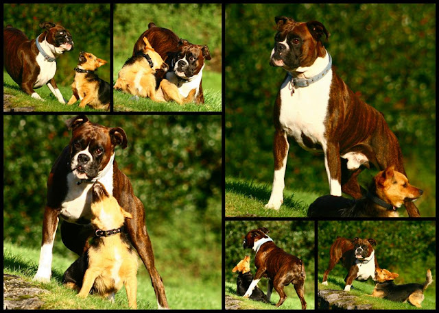 boxer dog portrait  © Annie Japaud Photography
