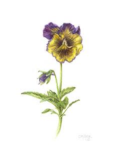 viola, pansy, botanical print