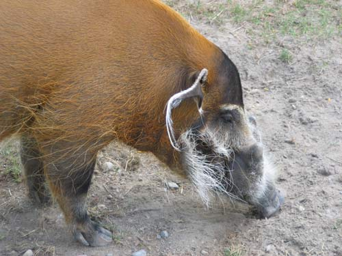 Red River Hog At The Toronto Zoo.