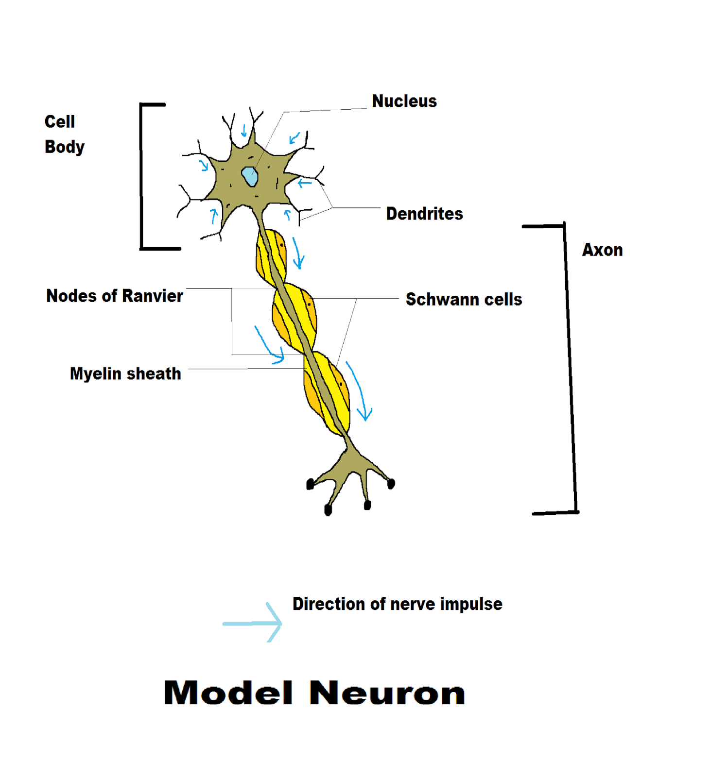 In Neuron Cell Diagram
