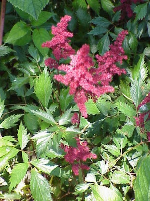 Picture of red Astilbe-when should I feed my Astilbe
