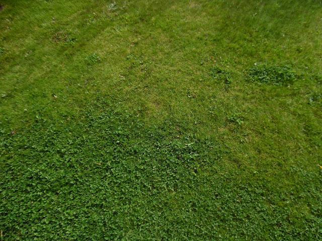 koniczyna na trawniku