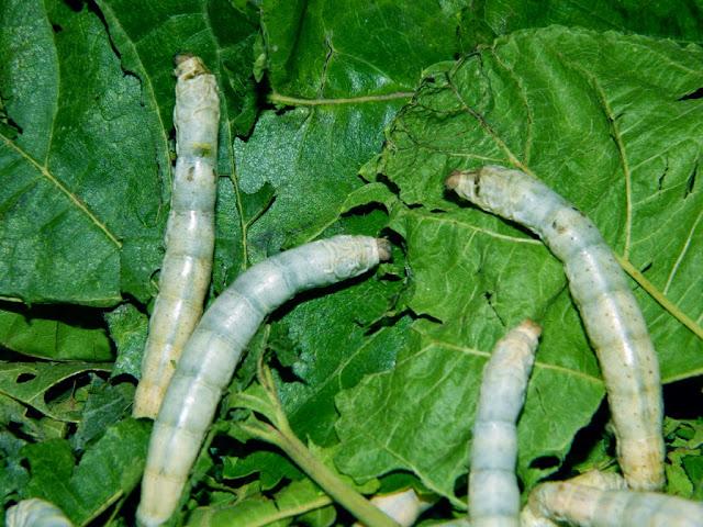 Mulbery silkworm