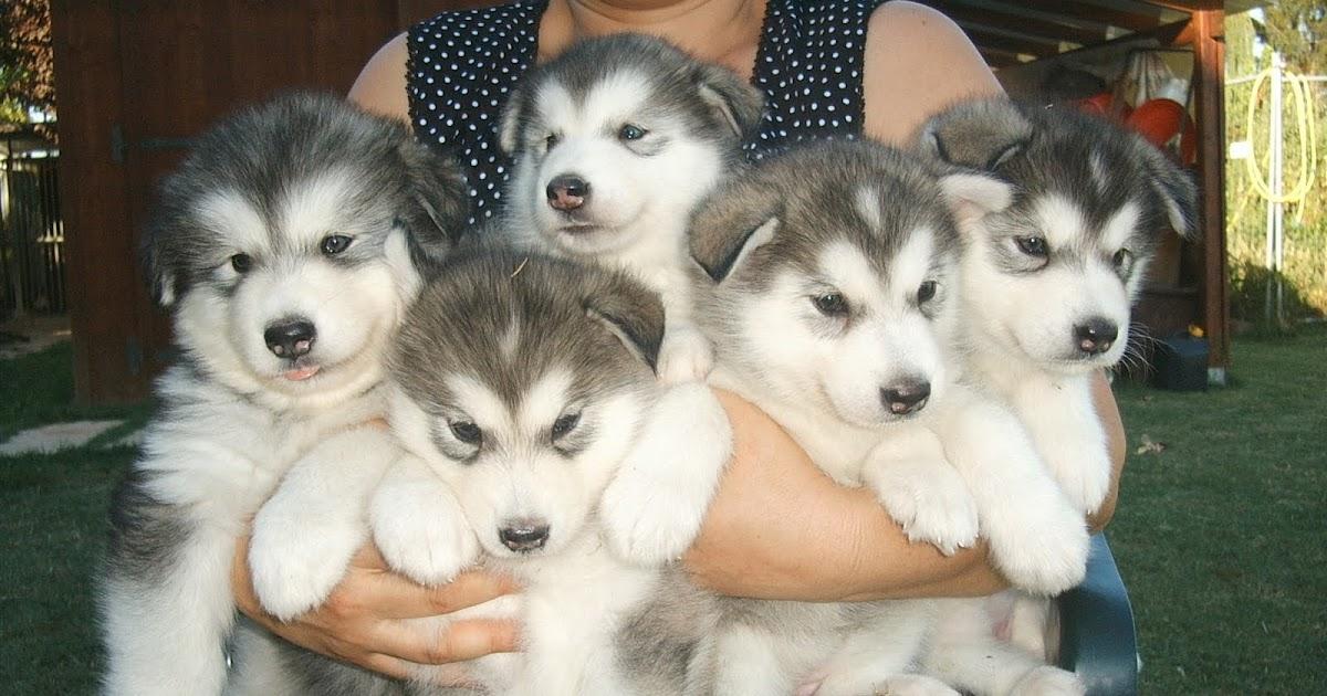 Cani alaskan malamute regalo