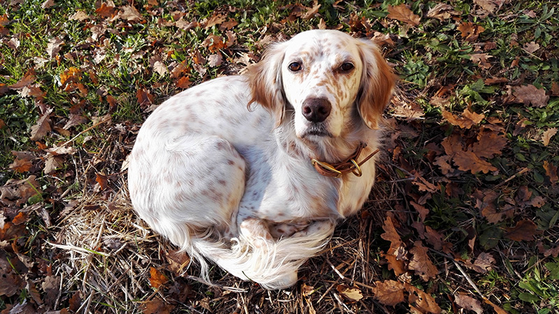 Elsa, English Setter dog, laying on some straw and leaves.