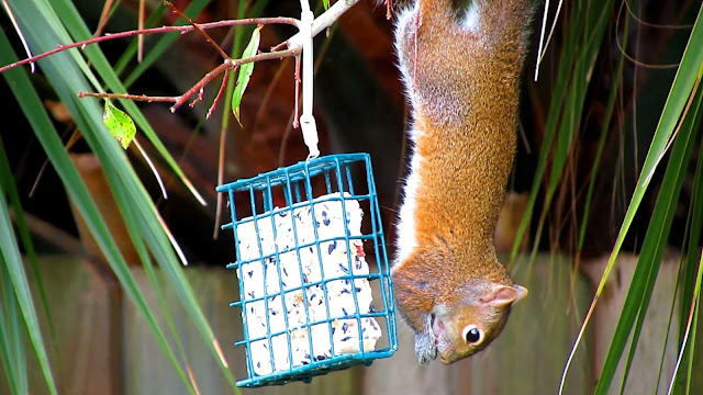 Squirrels Love Suet - Eaten Upside Down or Right-Side Up!