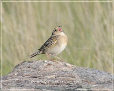 Grasshopper Sparrow. Copyright © Shelley Banks, all rights reserved.