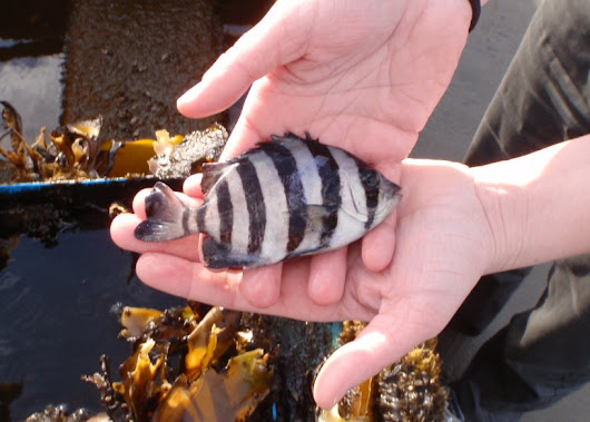 Striped Beakfish - Pacific hitchhikers