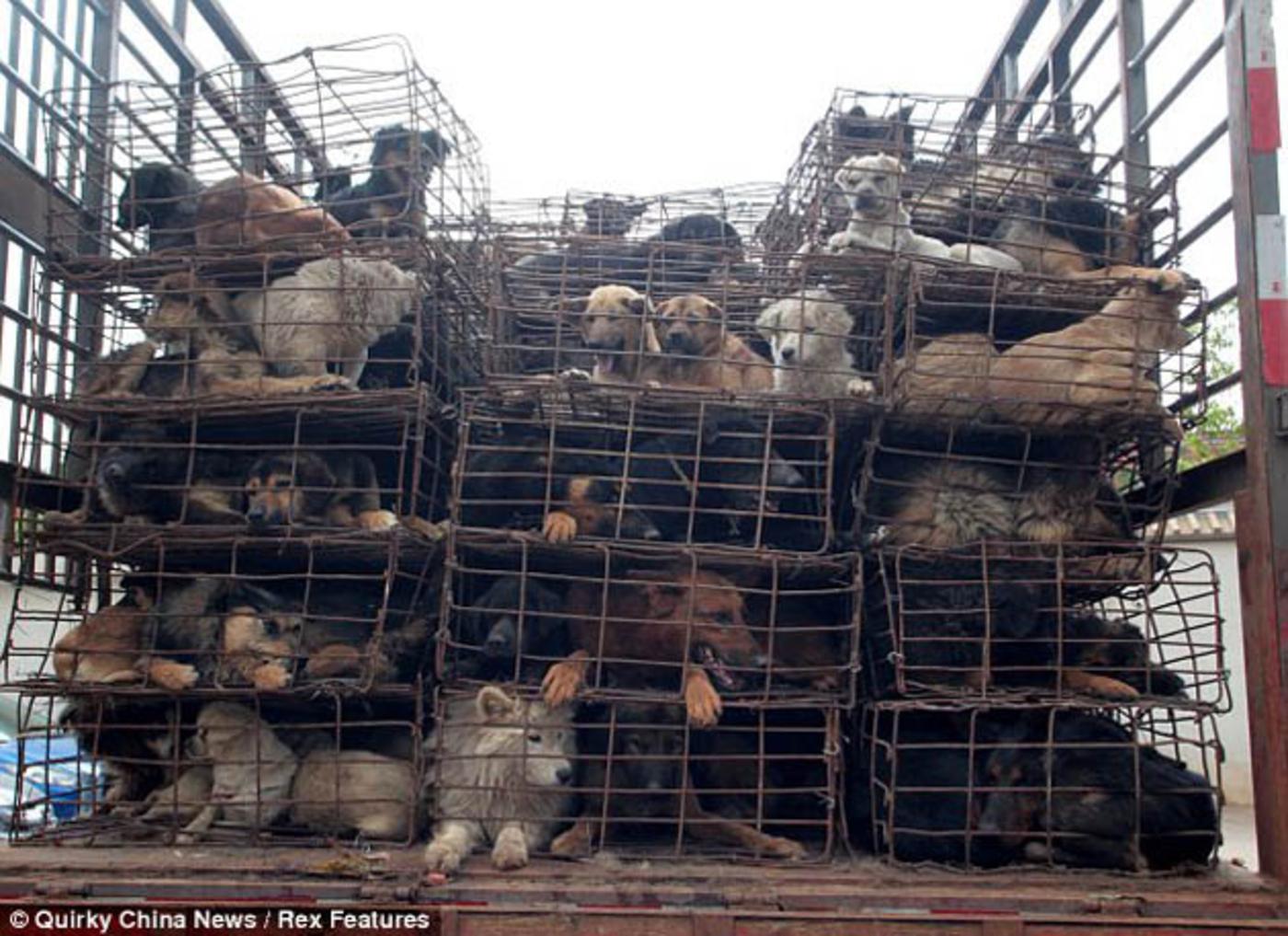 China: Salvaron 500 perros destinados como comida ~ BLOG ... - photo#20