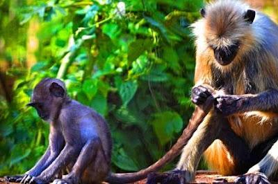 Capped Monkey of Dibru Saikhowa National Park