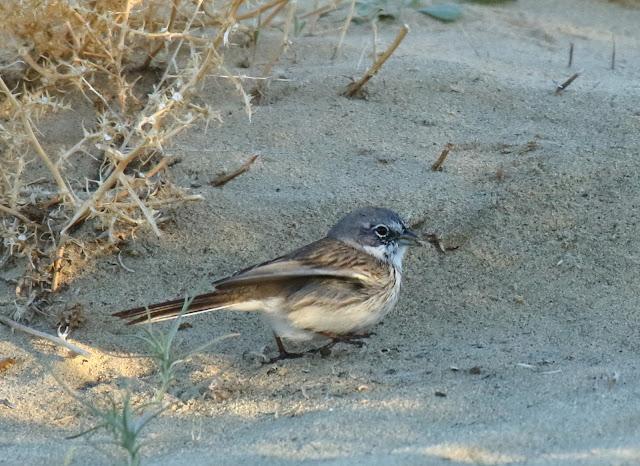 Sage Sparrow, Sagebrush/Bell's Sparrow