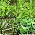 Rau Ngổ - Buffalo spinach
