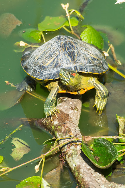 Red-eared Slider, Smith Oaks Sanctuary