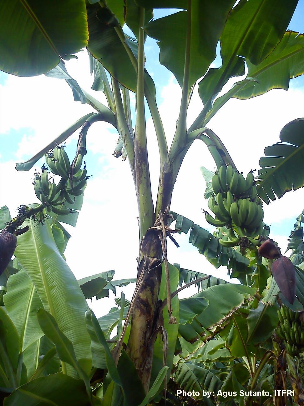 Kalori Pisang Ambon : kalori, pisang, ambon, Pisang, Budidaya