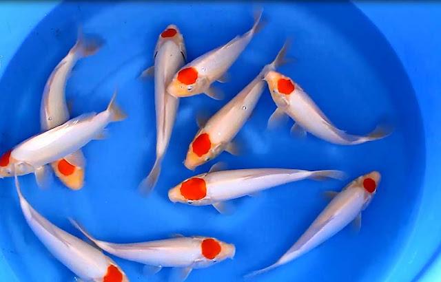 Cách nuôi cá koi Tancho