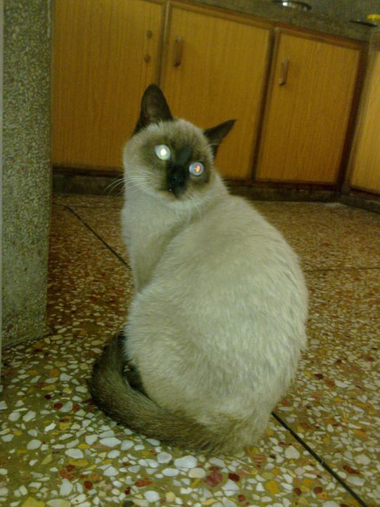 Pet Supplies Pakistan Pure Chocolate Pointed Siamese Cat