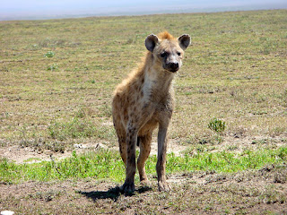 Hyena on the lying in wait, be careful who you trust African proverbs