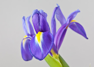 Pic of a single blue iris