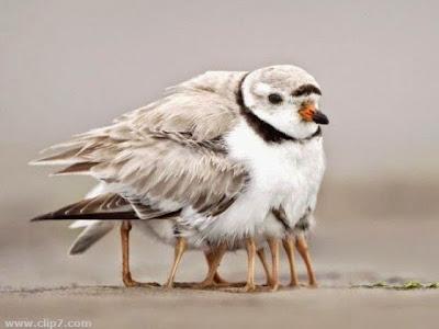 Mama ave, cobijando a sus polluelos