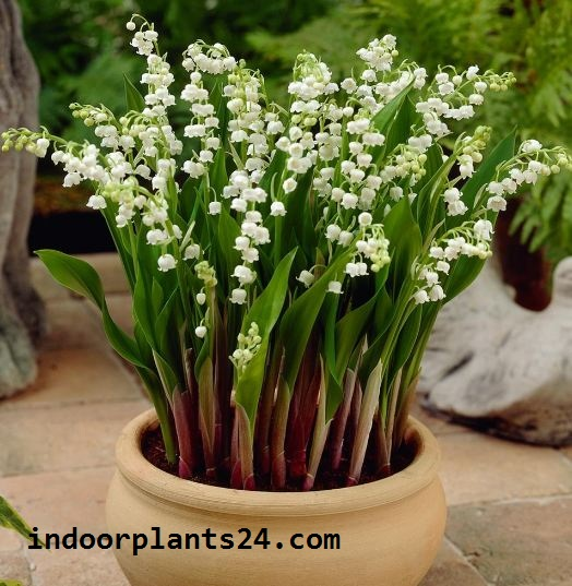 Liliaceae LILY of the Valley Indoor Plant