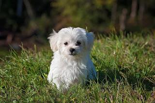 白いぬいぐるみみたいな犬