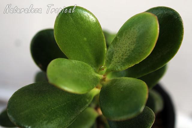 El popular Árbol de Jade con sus hojas de color verde intenso característico