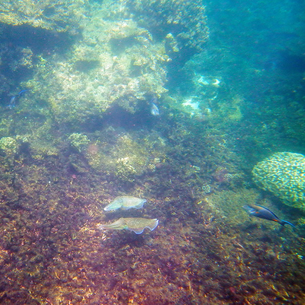 snorkeling, schnorcheln, daymaniyat, islands, inseln, fische, korallen, oman, Muscat, unterwasser, meer, Kalamar,
