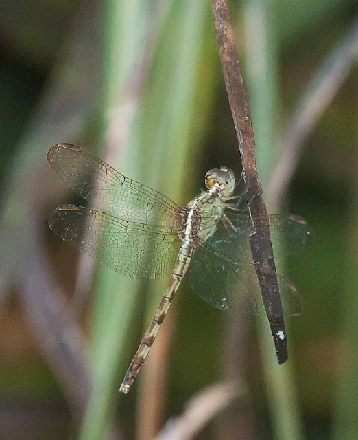 Great Pondhawk (Erythemis vesiculosa)
