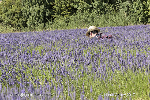 Cutting the lavender
