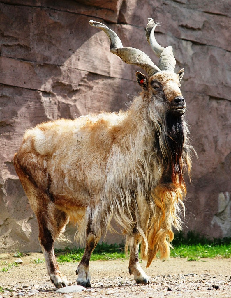 Animals You May Not Have Known Existed - Markhor