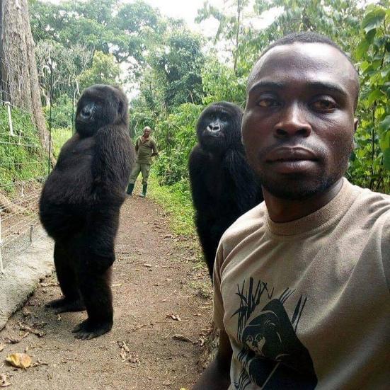 You might have recently seen caretakers Mathieu and Patrick's amazing selfie with female orphaned gorillas Ndakazi and Ndeze inside the Senkwekwe center at Virunga National Park.