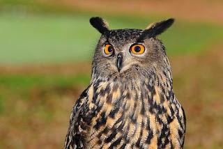 Burung Hantu Berburu pada Siang Hari saat 48 Juta Tahun Lalu