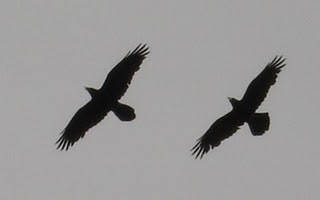 Ravens Dancing in the Sky