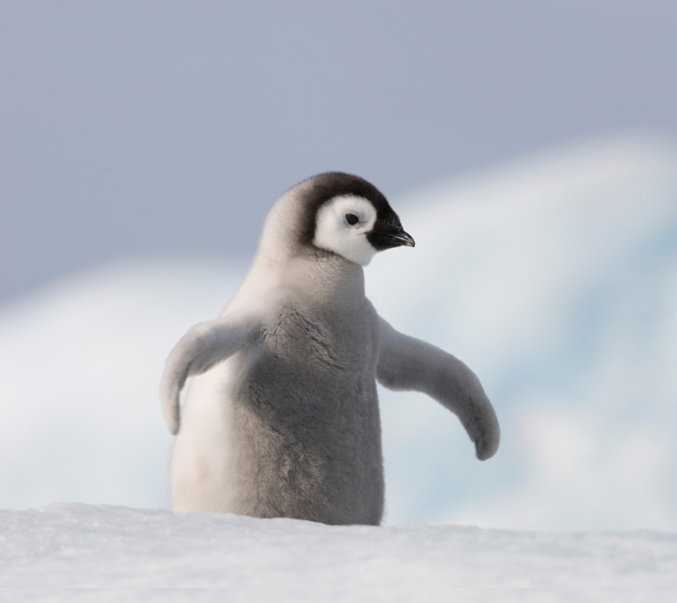 cute penguins animals penguin baby nature animal winter species cutest adorable antarctica than babies sweet pinguin funny penquin mighty facts