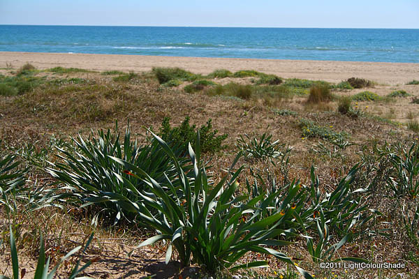 Sea daffodils on the Mediterranean dunes