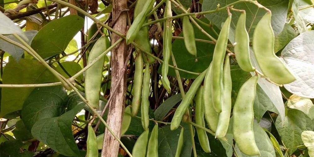 Kacang Kratok