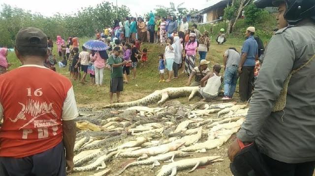 292 Buaya Dibantai Gara-gara Makan Seorang Warga di Sorong