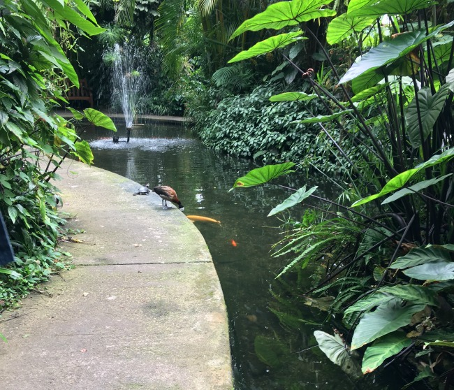 fountain-fish-terrapin-tropical-plants-whistling-duck-Roath-park-greenhouse