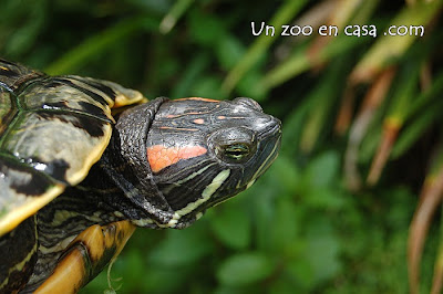 La tortuga de orejas rojas (Trachemys scripta elegans)