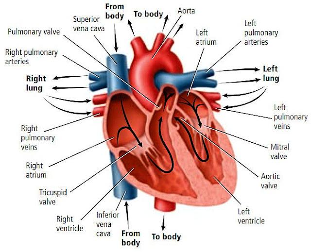 organ jantung terdiri dari berbagai macam jaringan
