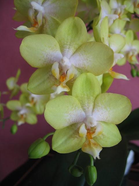 Como Cuidar de Orquídea Phalaenopsis Passo a Passo