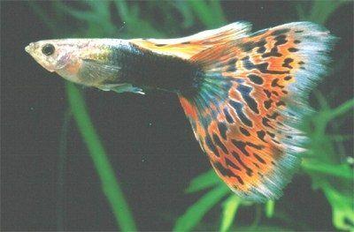 Gambar Ikan Guppy Mosaic - Tuxedo Red Mosaic
