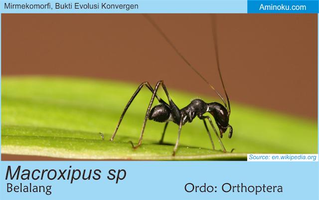 Macroxipus sp